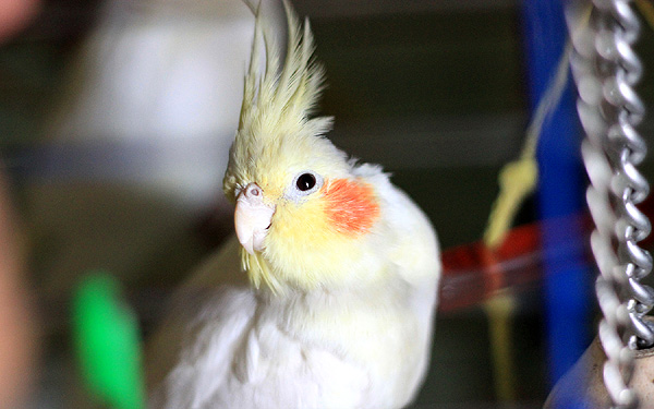 попугай гл