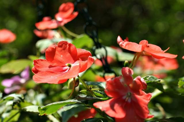 Цветок семейная радость фото