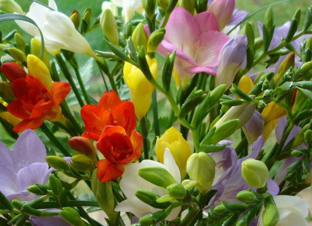 цветы фрезия